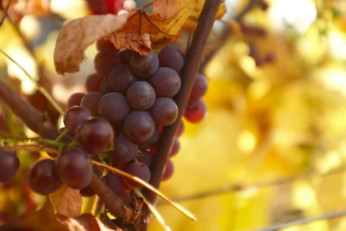 Plantacja winorośli w Dwórznie