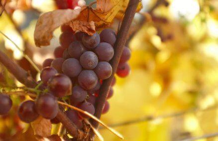 Zwiedzanie winnicy z degustacją wina