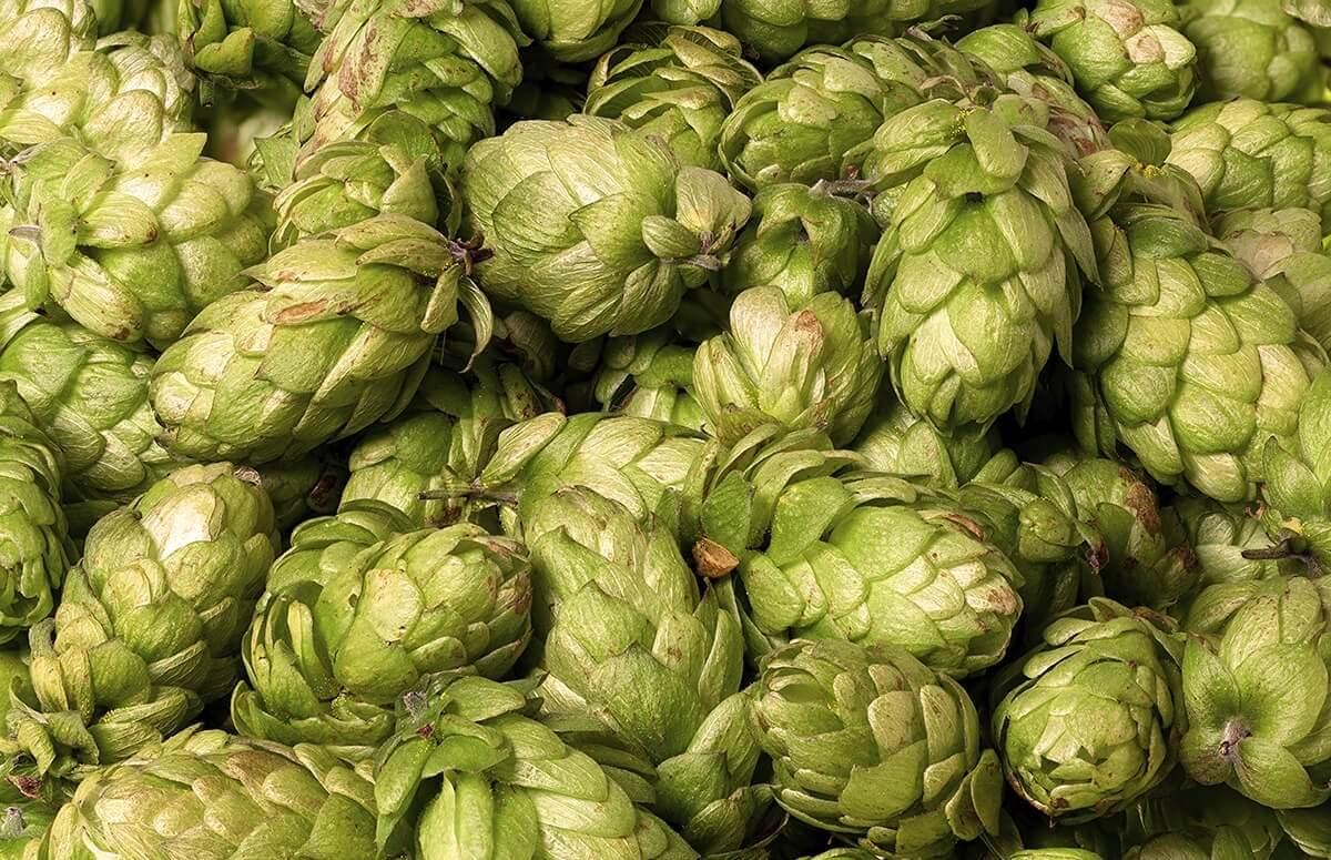 Chmiel wykorzystywany do warzenia piwa