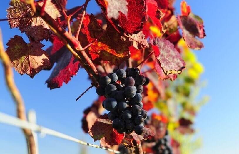 Zwiedzanie winnicy z degustacją win lokalnych