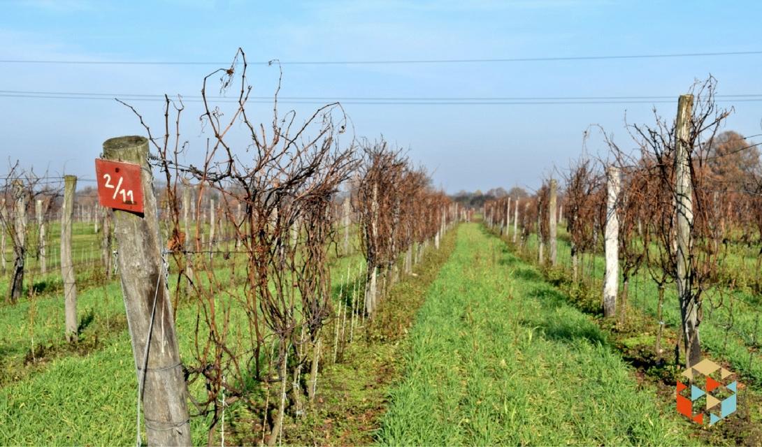 Plantacja winorośli w listopadzie